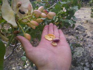 Il pistacchio rimedio naturale contro lo stress