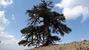 albero più antico