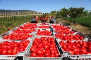raccolta-pomodori-della-terra-dei-fuochi-dissequestrati-18-fondi
